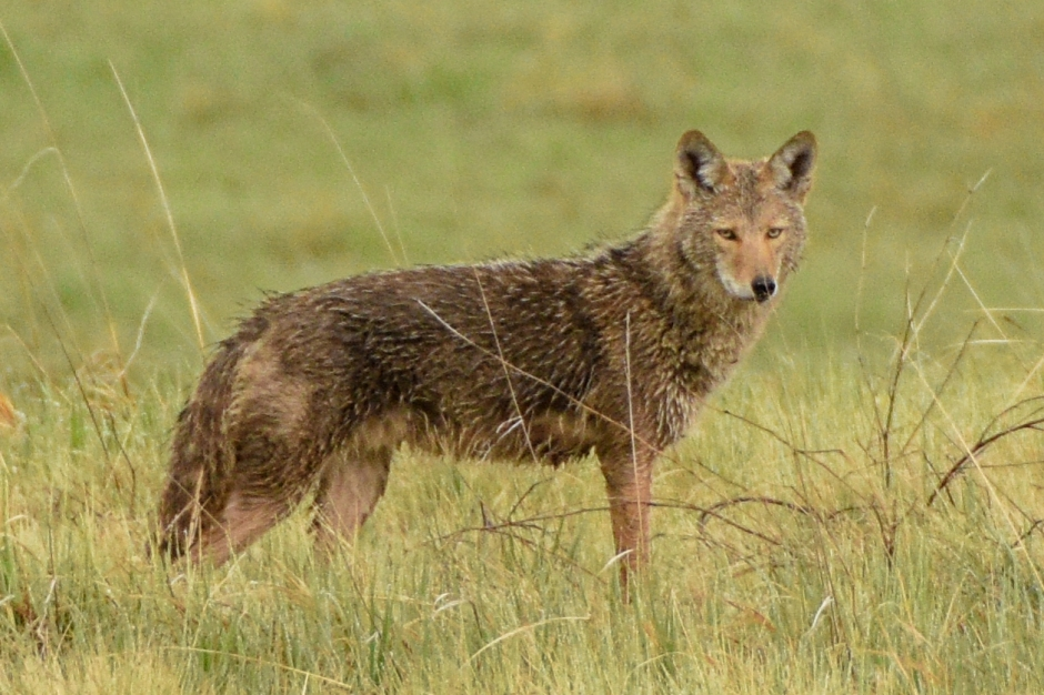 Coyote 2018-5-12-2